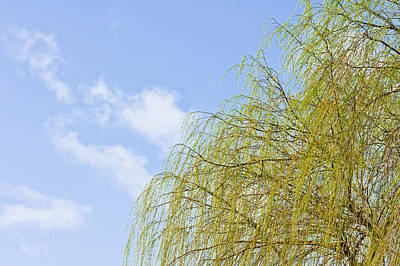 Willow Trees Photograph - Budding Willow by Tom Gowanlock