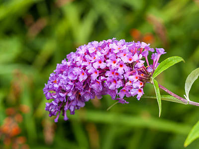 Photograph - Buddleia by Charles Hite