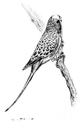 Budgerigar - Melopsittacus Undulatus Art Print by Kurt Tessmann