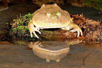 Anuran Photograph - Budgett's Frog, Lepidobatrachus Asper by David Northcott