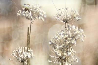 Allium Blumen Original by James  Grierson