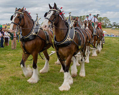 Photograph - Budweiser Clydesdales by Robert L Jackson