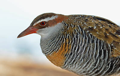 Photograph - Buff-banded Rail Or Banded Rail.. Green Island. by David Clode
