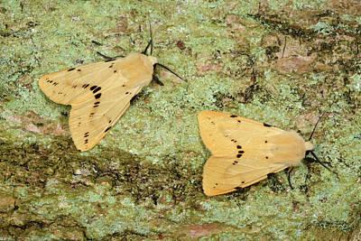 Buff Ermine Moths Art Print by Nigel Downer
