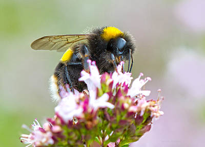 Photograph - Buff Tailed Bumblebee by Steven Poulton