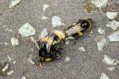 Two Tailed Photograph - Buff-tailed Bumblebees Mating by Simon Booth