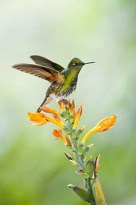 Coronet Photograph - Buff-tailed Coronet Hummingbird by Tui De Roy