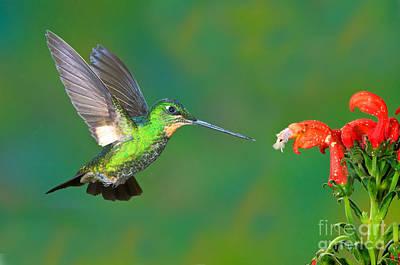 Nectaring Bird Photograph - Buff-winged Starfrontlet by Anthony Mercieca