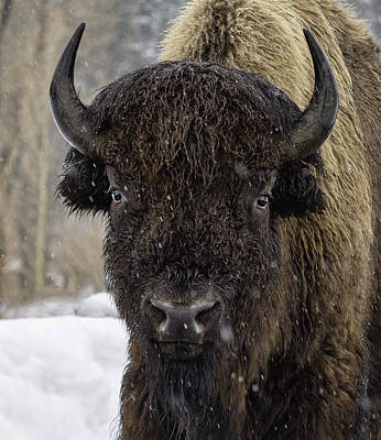 Buffalao In Snow Art Print