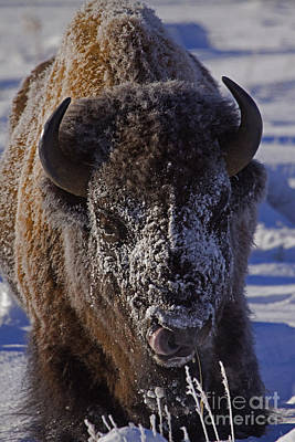 Buffalo   #6803 Original by J L Woody Wooden