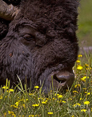 Buffalo And Mountain Dandelions   #9215 Original