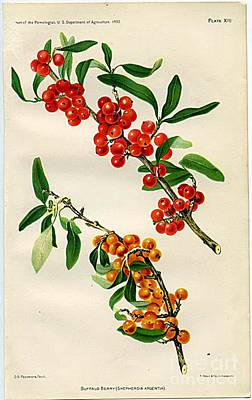 Buffalo Berry Art Print by  Department of Agriculture