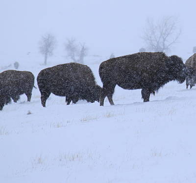 Photograph - Buffalo Blizzard by Trent Mallett