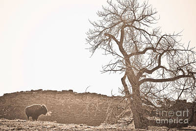 Bison Photograph - Buffalo Breath by James BO  Insogna