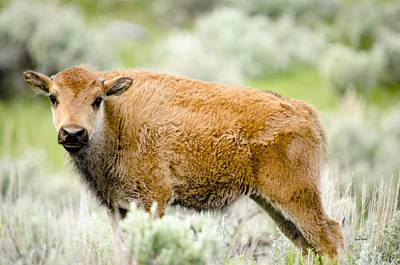 Buffalo Photograph - Buffalo Calf by Crystal Wightman