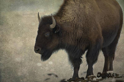 North American Photograph - Buffalo by Juli Scalzi