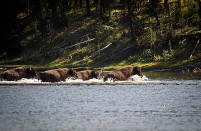 Buffalo Crossing - Yellowstone National Park - Wyoming Original by Diane Mintle