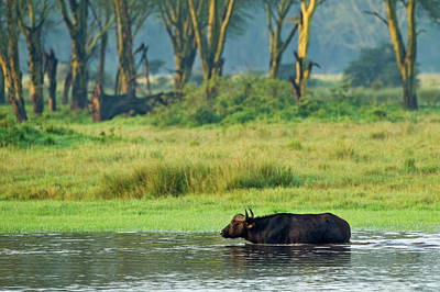 Water Buffalo Wall Art - Photograph - Buffalo Crossing Flooded Area Of Lake by Adam Jones