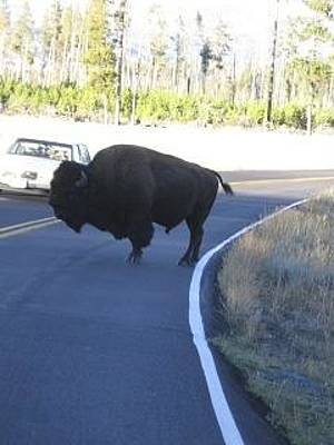 Photograph - Buffalo Crossing by Kristina Deane
