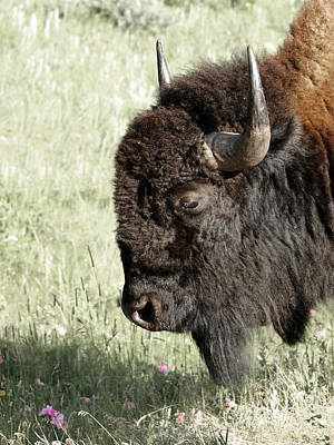 Photograph - Buffalo by Ernie Echols