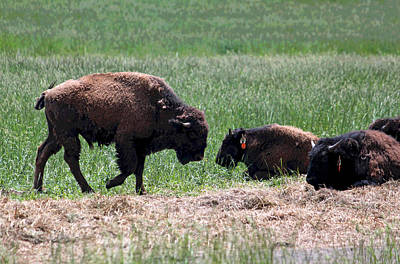 Buffalo Farm In Craig County Va Original