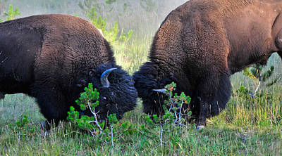 Photograph - Yellowstone Buffalo Fight by Ginger Wakem