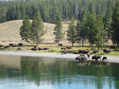 Photograph - Buffalo Gather At The River by Susan Woodward