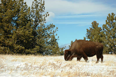 Photograph - Buffalo Grazing by Dakota Light Photography By Dakota