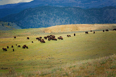 Photograph - Buffalo Herd by Roger Mullenhour