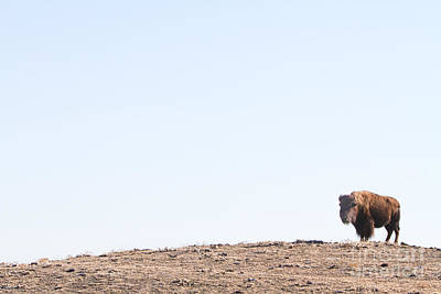 Bison Photograph - Buffalo Hill by James BO  Insogna