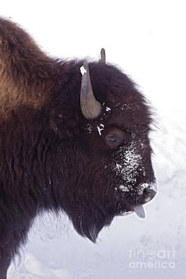 Buffalo In Snow   #6983 Original by J L Woody Wooden