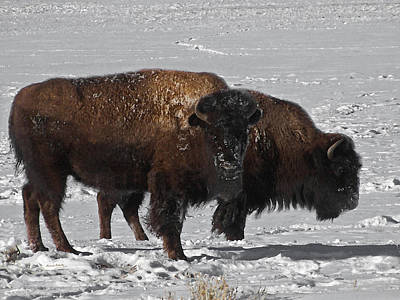 Photograph - Buffalo In Snow by Ernie Echols