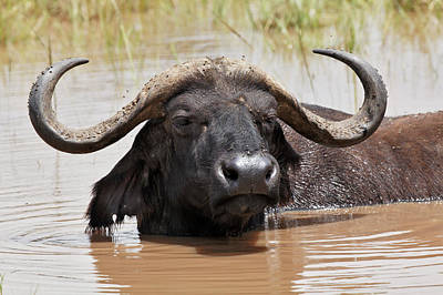 Water Buffalo Wall Art - Photograph - Buffalo In Water, Lake Nakuru National by Adam Jones