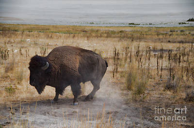 Photograph - Buffalo Of Antelope Island by Donna Greene
