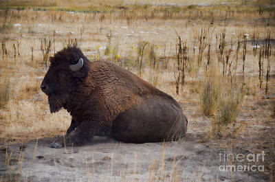Photograph - Buffalo Of Antelope Island II by Donna Greene