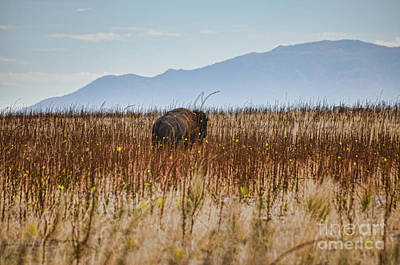 Photograph - Buffalo Of Antelope Island IIi by Donna Greene