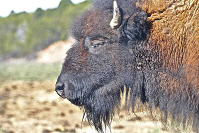 Photograph - Buffalo The True Shag by SC Heffner