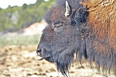 Photograph - Buffalo Tongue by SC Heffner