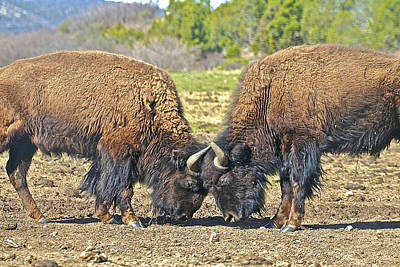 Photograph - Buffaloes At Play by SC Heffner