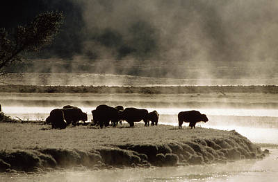 Water Buffalo Wall Art - Photograph - Buffalos In Yellowstone National Park by Animal Images