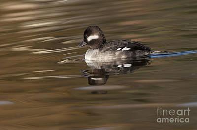 Birding Photograph - Bufflehead Lady by Ruth Jolly