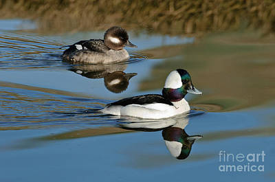 Iridescent Photograph - Bufflehead Male & Female by Anthony Mercieca