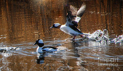 Photograph - Bufflehead Male Takes Off by Grace Grogan