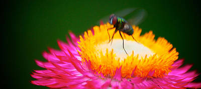 Bath Time Rights Managed Images - Bug on pink flower Royalty-Free Image by Prince Andre Faubert