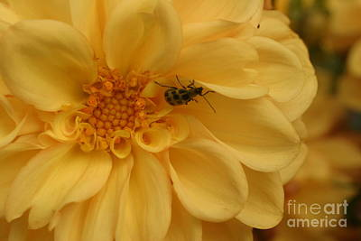 Photograph - Bugged Dahlia by Lisa Conner