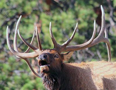 Photograph - Bugling Bull by Shane Bechler