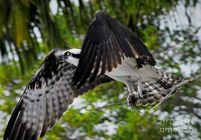 Osprey Wall Art - Photograph - Building For The Future by Quinn Sedam