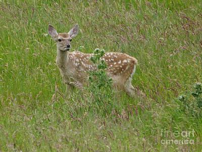 Photograph - Bukhara Deer Calf by Phil Banks