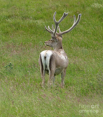 Photograph - Bukhara Stag  by Phil Banks