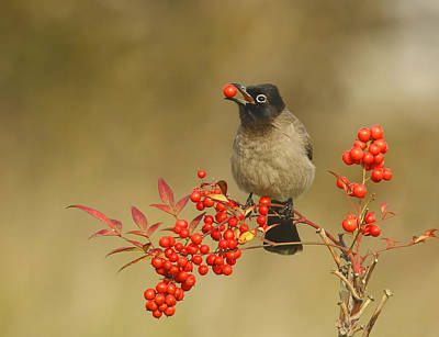 Eaten Photograph - Bulbul With Nandina by Shlomo Waldmann